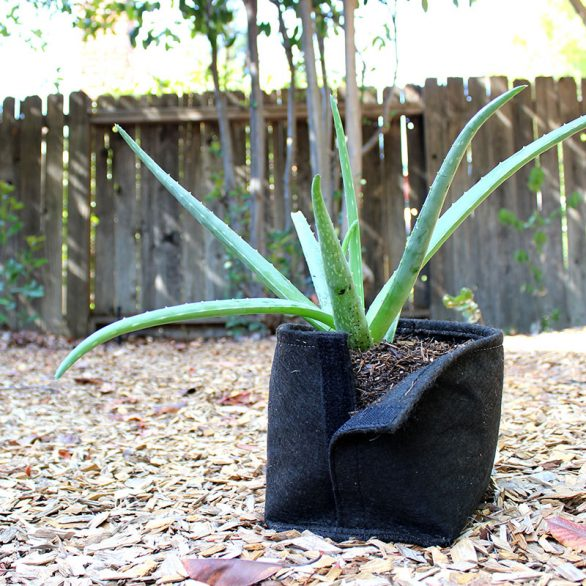 aloe in a fabric pot meant for transplanting