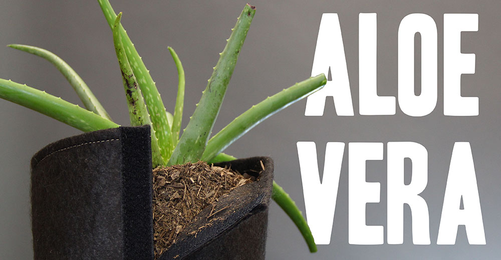 Tricks to grow with aloe vera